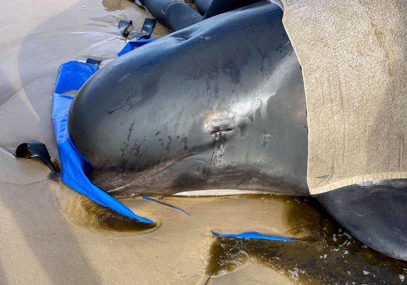 Hundreds of whale carcasses, tragic sight at harbour: Australia's largest ever stranding