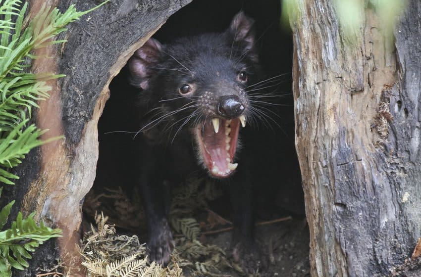 'Devils' set to roam free in Aussie forests, the wild creatures make a return after 3,000 years