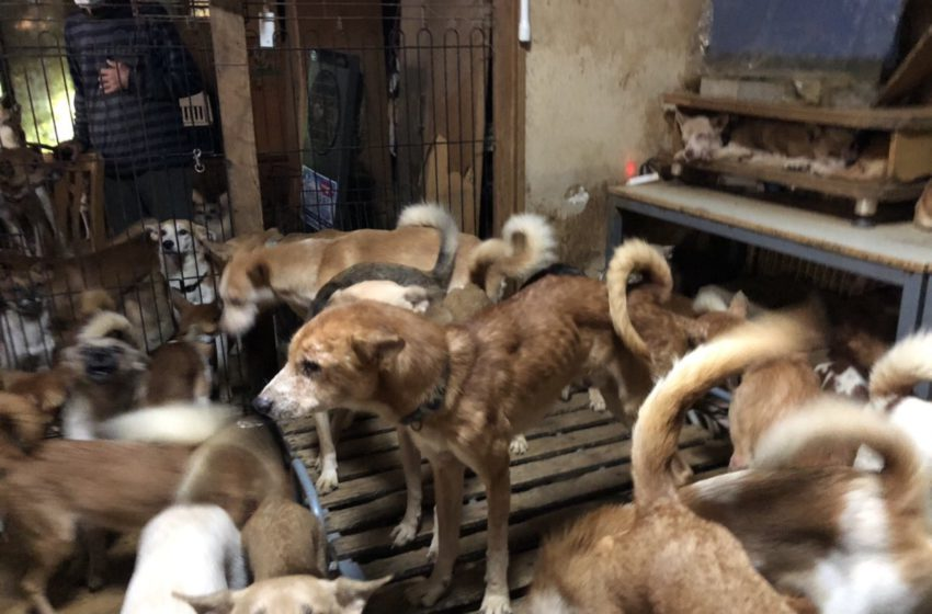 Japan officials discover 164 starved, flee-bitten dogs crammed in tiny house