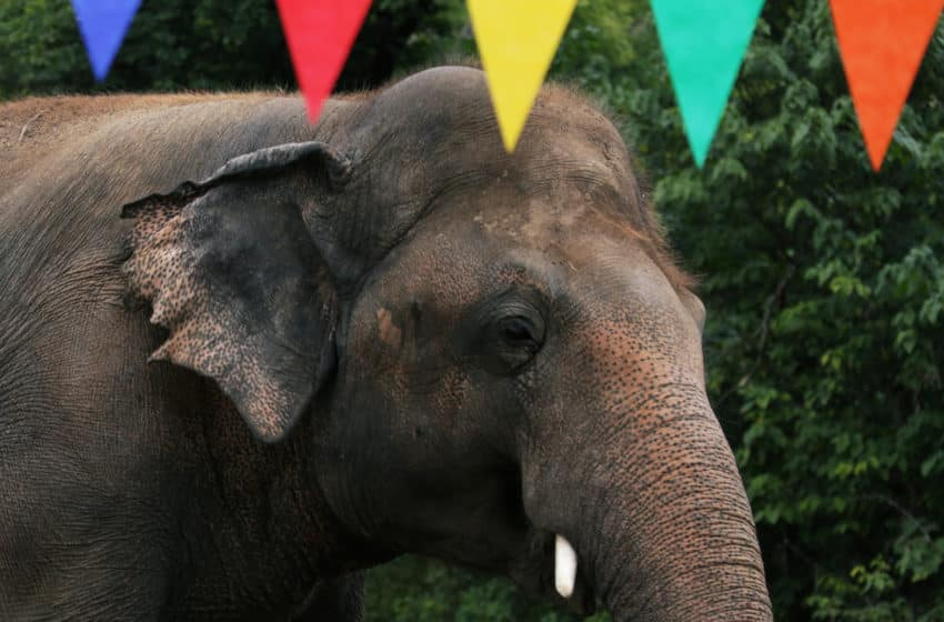 Lonely to loved: Pakistan's infamous elephant now ambles free in Cambodia