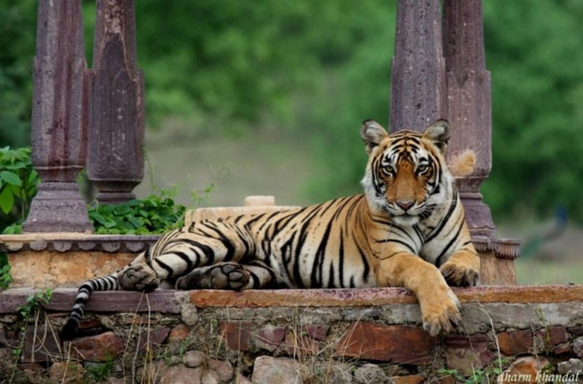 Global Tiger  Day – Renewing our promise to save the tiger