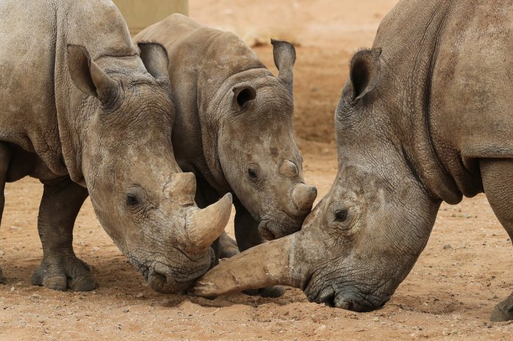 Al Ain Zoo to further push its rhino conservation efforts
