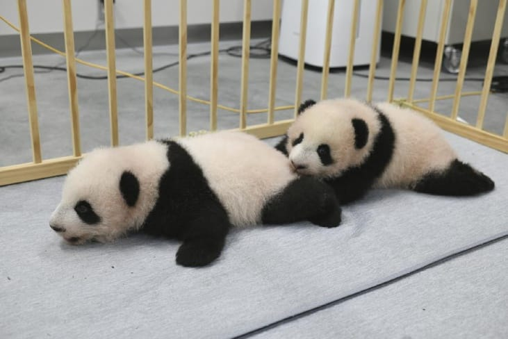 These adorable Panda twins have finally got names!